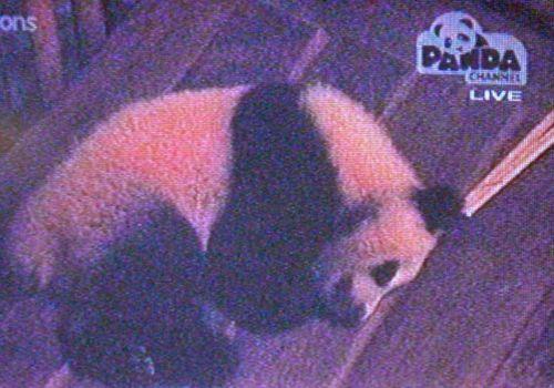 Big Brother: Panda Edition